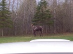 A Wild MOOSE appears!
